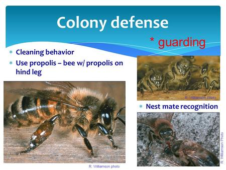 Colony defense  Cleaning behavior  Use propolis – bee w/ propolis on hind leg  Nest mate recognition R. Williamson Photo R. Williamson photo R. Williamson.