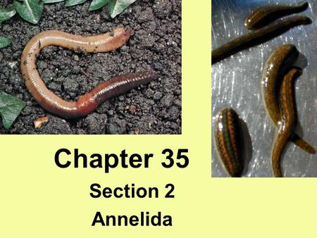 Chapter 35 Section 2 Annelida. Characteristics Annelida Segmented worms Coelomates- true body cavity Setae- external bristles Parapodia- fleshy protrusions.