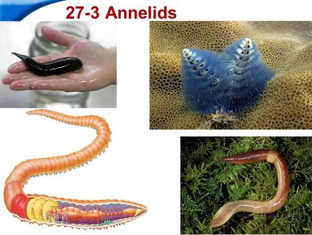 End Show Slide 1 of 36 27-3 Annelids. End Show 27-3 Annelids Slide 2 of 36 Copyright Pearson Prentice Hall What Is an Annelid? Annelids are worms with.