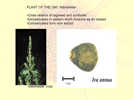 PLANT OF THE DAY: Marshelder