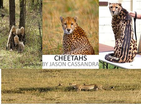 CHEETAHS BY JASON CASSANDRA. Animal Defenses The cheetah has sharp teeth for ripping meat and chewing meat. The cheetah has sharp claws to make it run.