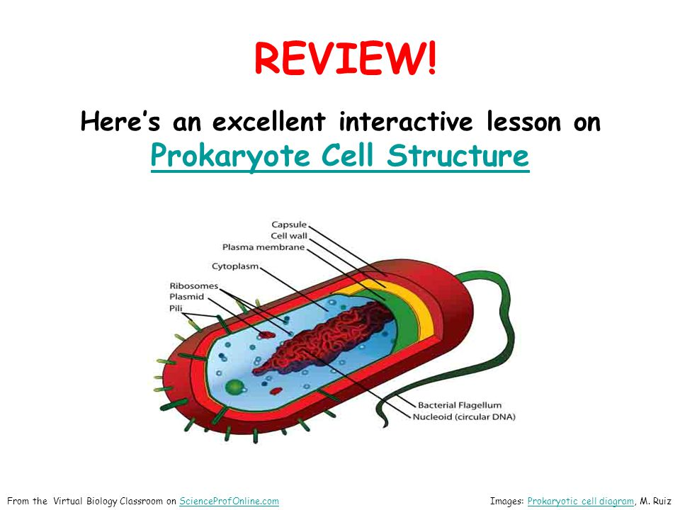Eukaryotic Cells  Eu = true , karyon= nucleus  Genetic material contained in a nuclear membrane.