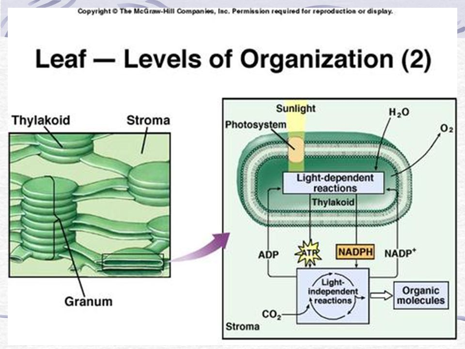 13.List the components of a photosystem and explain their function.