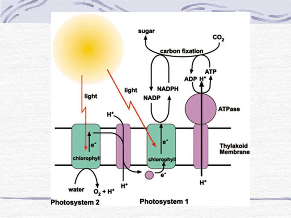 16.Summarize the light reactions with an equation and describe where they occur.
