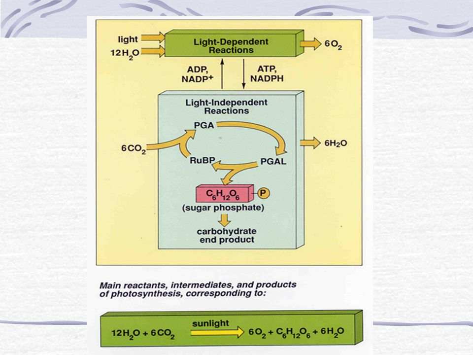 19.Describe the role of ATP and NADPH in the Calvin cycle.