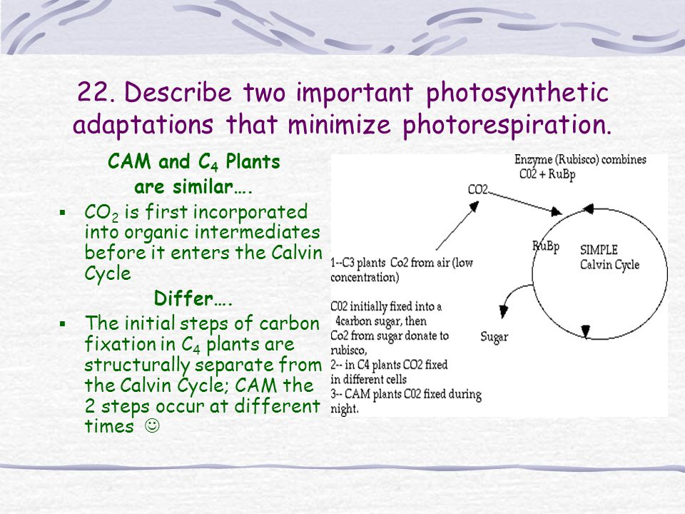 C 4 plants… Incorporate CO 2 into 4- carbon compounds Used by 1000's of species (corn, sugarcane, grasses) Enhances carbon fixation under conditions for photorespiration Leaf anatomy segregates the Calvin Cycle from the 1 st incorporation of CO 2 into organic compounds Calvin Cycle of these plants is preceded by the incorporation of CO 2 into organic compounds in the mesophyll