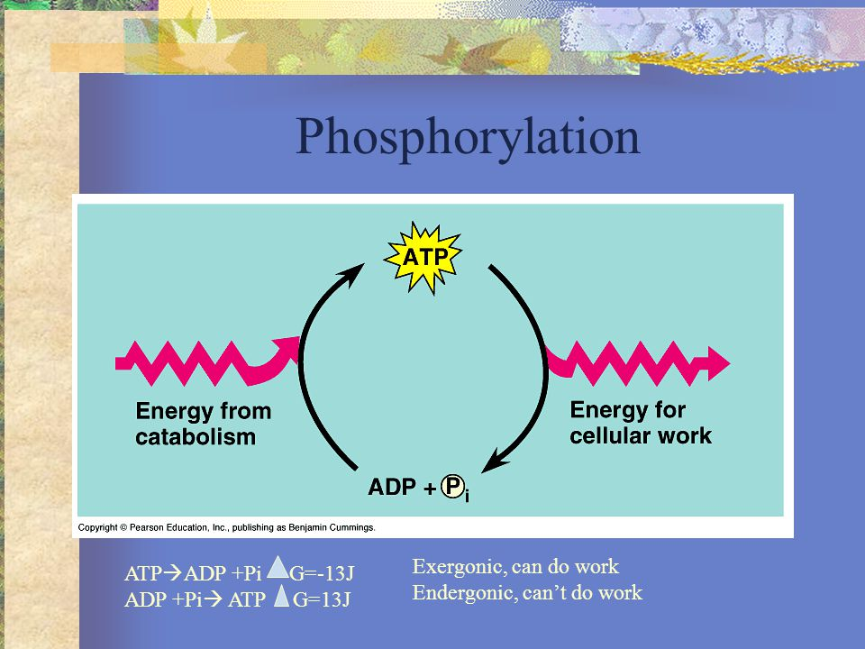 Phosphorus Cycle Initially in rocks, rocks weather, P then in soil or inwater to be used by producers to make phospholipids, DNA/RNA, proteins.