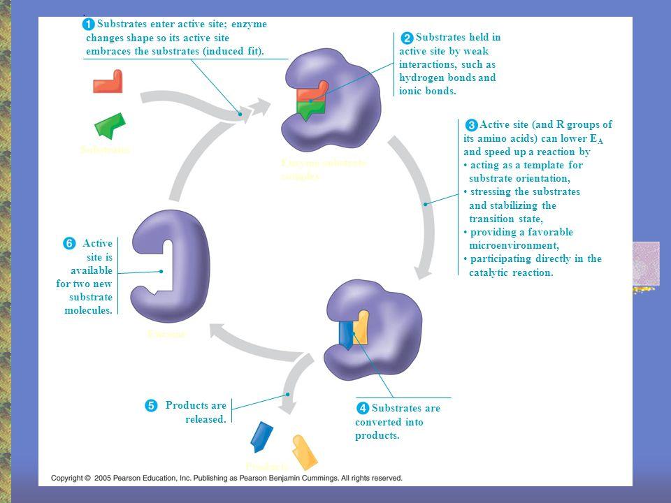 3 Factors that Affect Enzymes 1.Temperature 2.