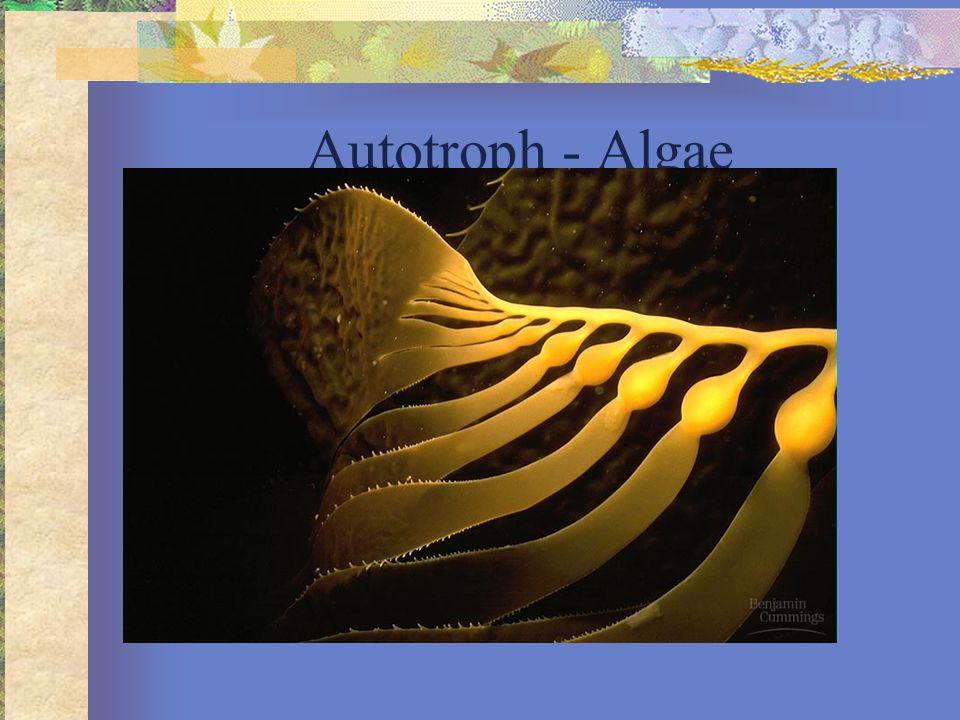 Autotroph - Phytoplankton