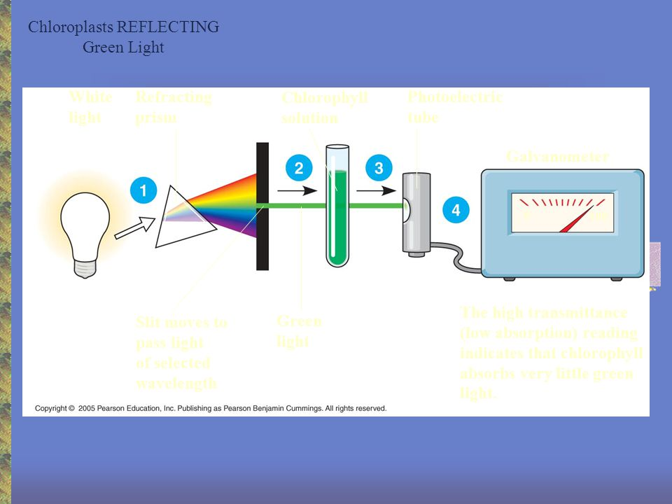 Chlorophyll ABSORBING Blue light to power photosynthesis White light Refracting prism Chlorophyll solution Photoelectric tube The low transmittance (high absorption) reading indicates that chlorophyll absorbs most blue light.