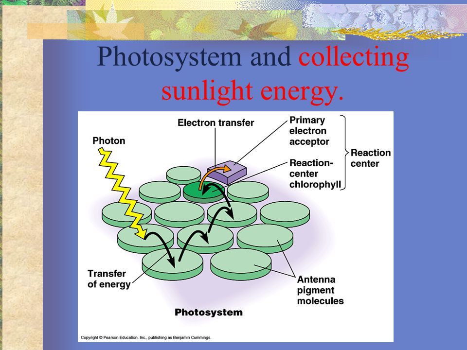 Where are the photosystems located?