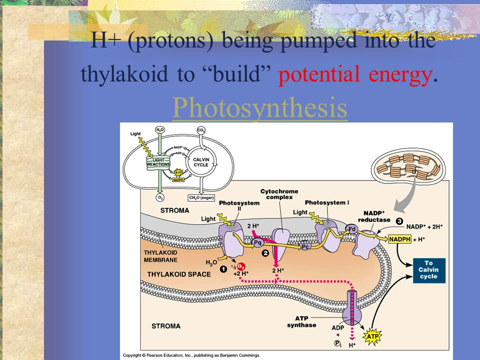 Energy Coupling Using energy from the proton pump to make energy in the form of ATP.