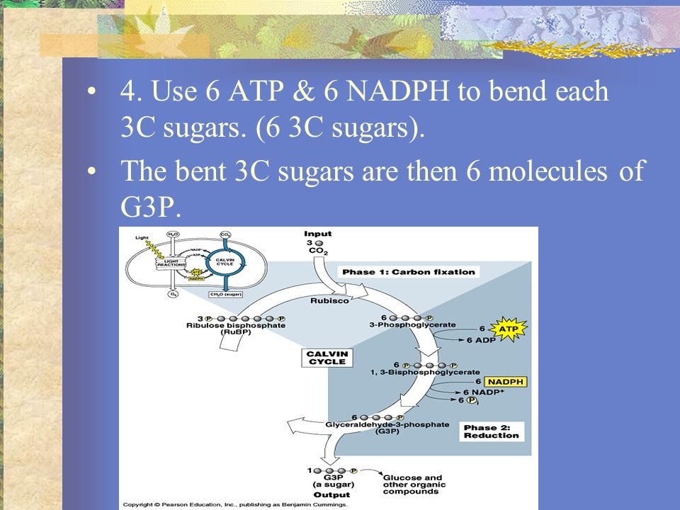 5.1G3P goes into making glucose, the other 5 G3Ps go back into the Calvin Cycle.