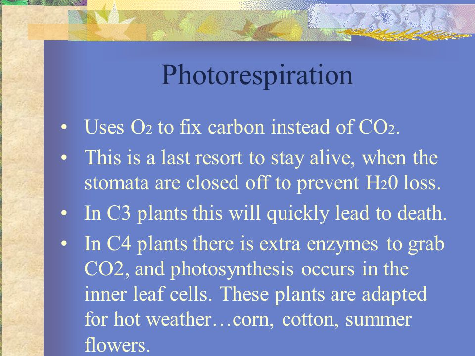 CAM Plants Crussulacean Acid Metabolism- utilize CO 2 stored as Crussulacean Acid because stomata only open at night.