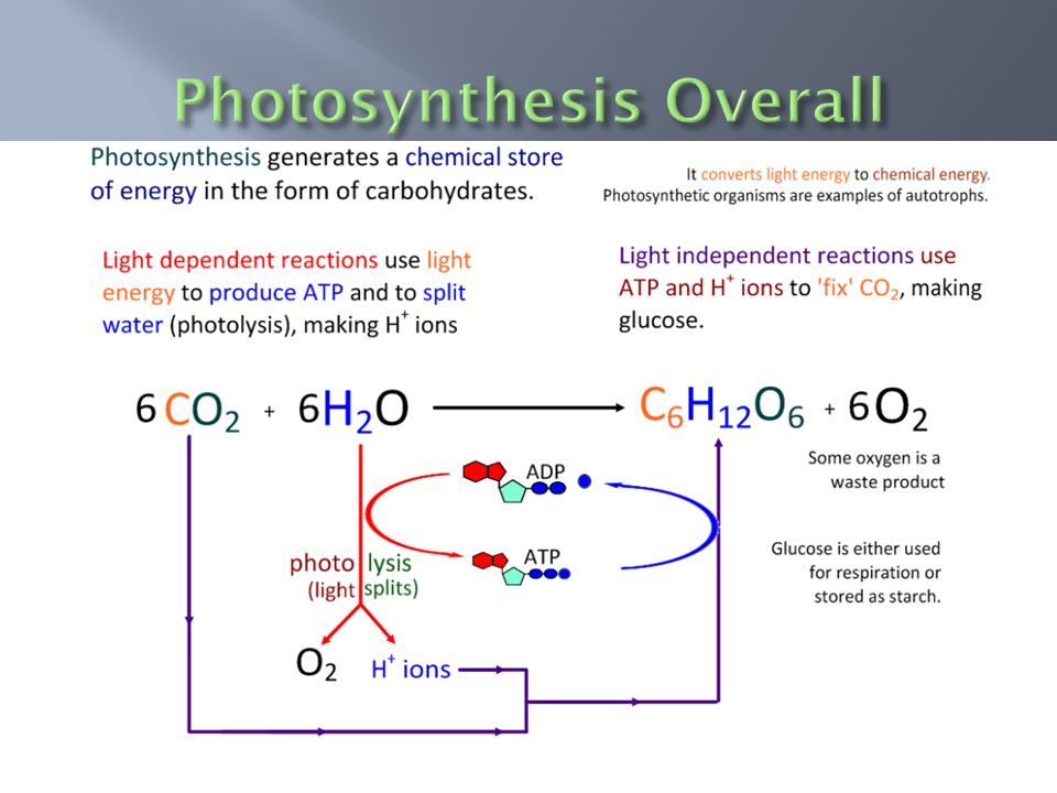  Carbon dioxide and water plus light energy are the raw materials of photosynthesis.