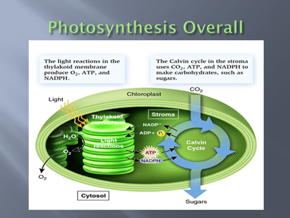  Describes how much sugar a plant can produce over time  It describes how productive a plant is under various conditions  What things would control the rate of photosynthesis?