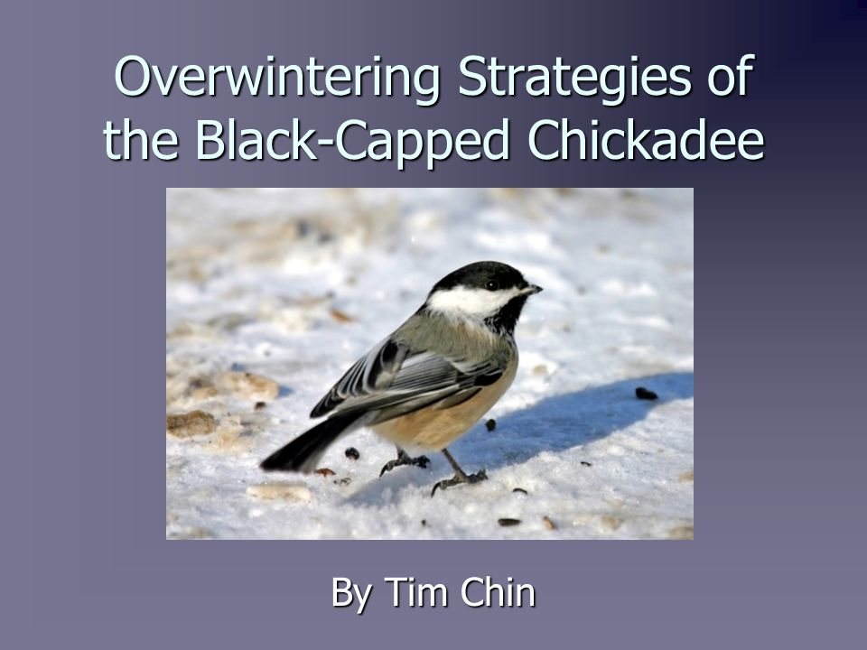 Overview of the Black-Capped Chickadee   The Black-Capped Chickadee is one of the most studied and well known birds in North America.
