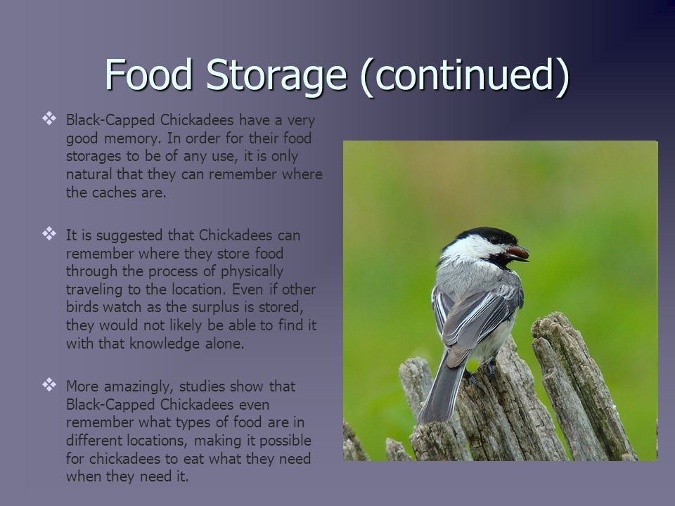 Winter Feeding   In warmer weather, Black-Capped Chickadees usually feast primarily on insects, grubs, and larva, with supplements of plant materials like seeds and berries.