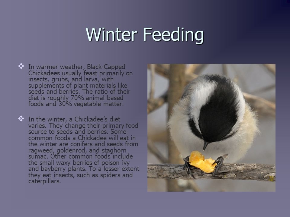 Winter Feeding (continued)   Black-Capped Chickadees still need to drink water in the winter.