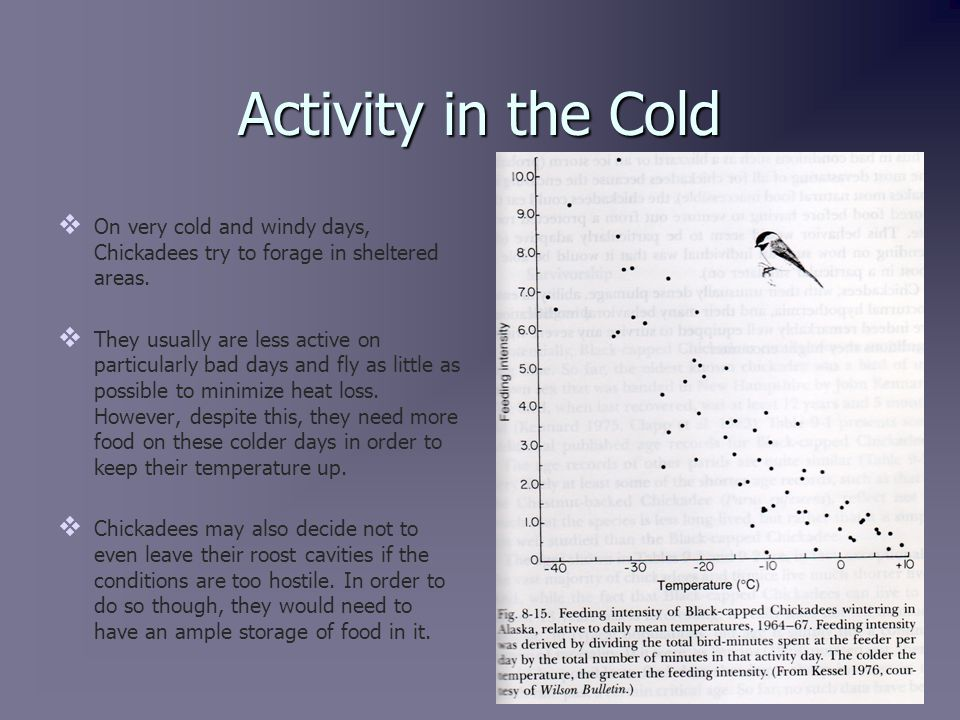 Winter Flock Formation   In warmer weather, Black-Capped Chickadees hold territory as mating pairs.