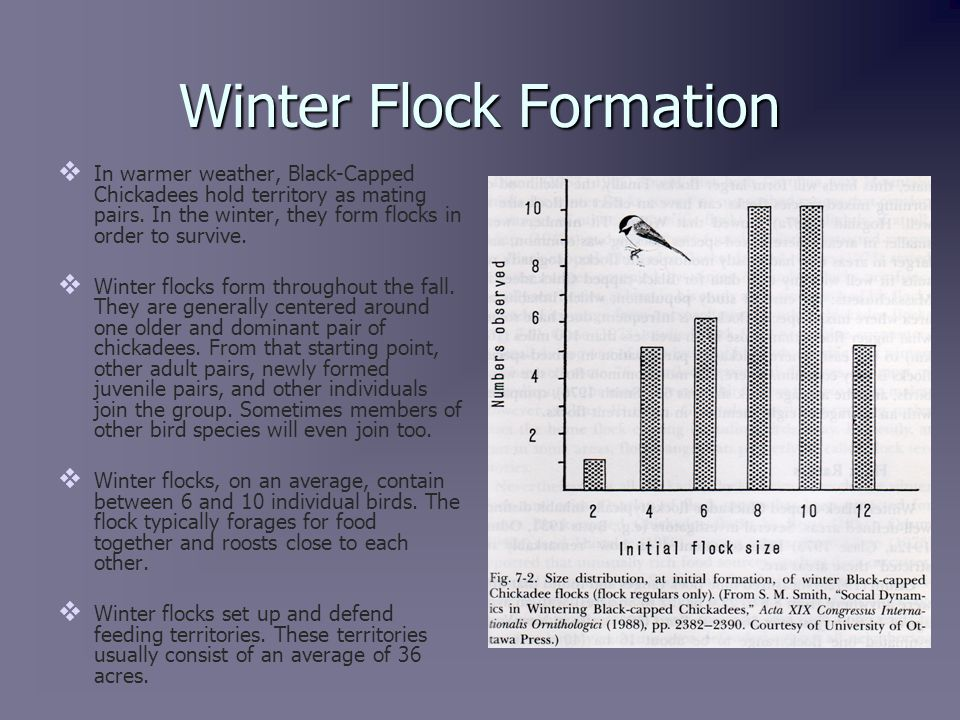 Winter Flock Hierarchy and Dominance   The winter flocks carry with them a linear hierarchy, where the alpha male and female outrank the beta pair.