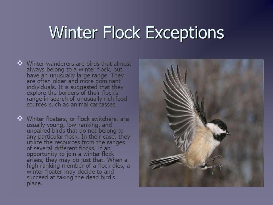 Winter Flock Benefits   Chickadees are inquisitive.