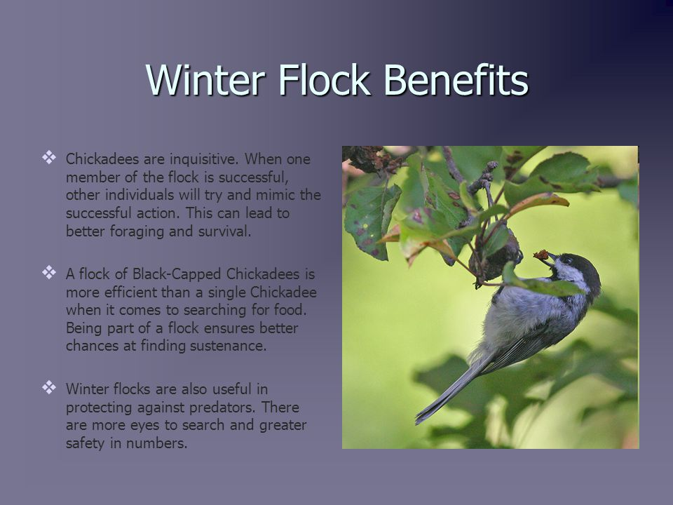 Irruption and Vertical Migration   Irruptions, or sporadic migrations, sometimes can occur if the population of Black-Capped Chickadees in an area is too high and there is a lack of food and territory.