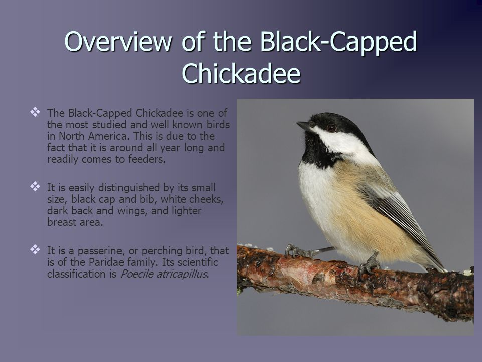 Population Distribution   The population range of the Black- Capped Chickadee spans the whole of North America from coast to coast.