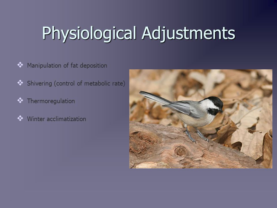 Manipulation of Fat Deposition   Chickadees can adjust their fat deposition by eating certain varieties of food.