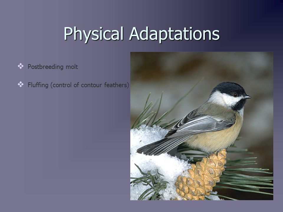 Postbreeding Molt   The vast majority of a Black-Capped Chickadee's insulation comes from the contour feathers.