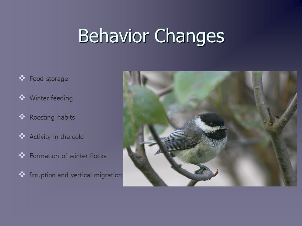Food Storage   Black-Capped Chickadee usually store food in the fall and early winter.