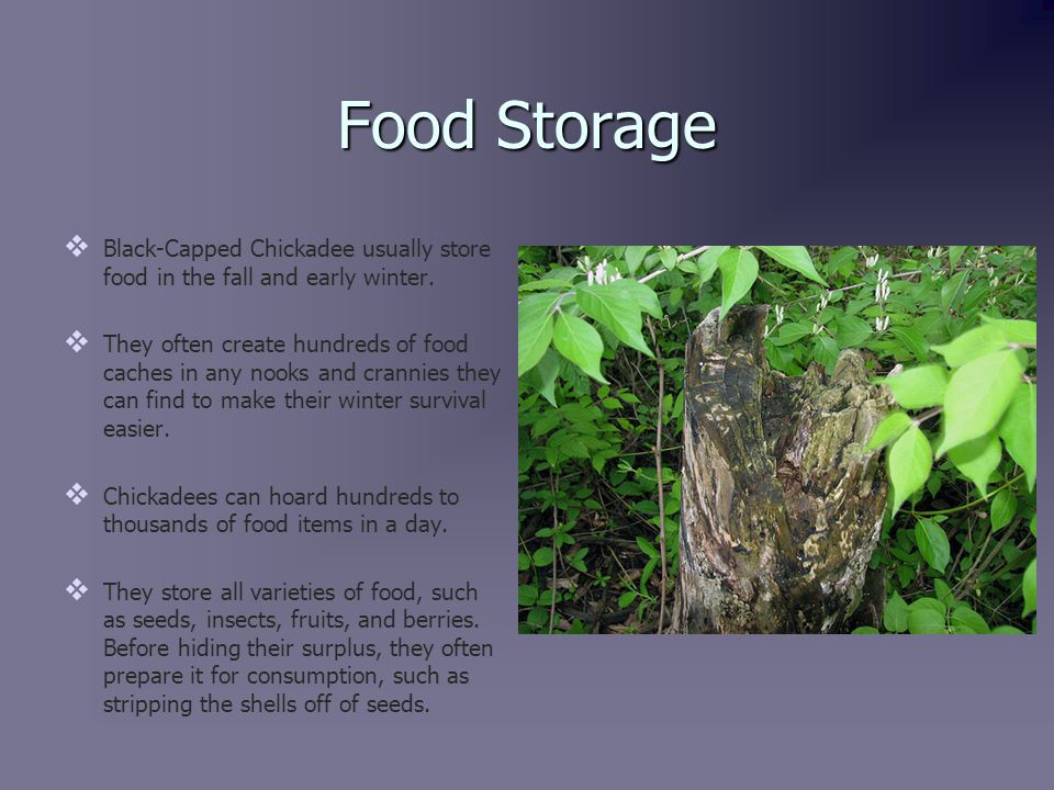 Food Storage (continued)   Black-Capped Chickadees have a very good memory.