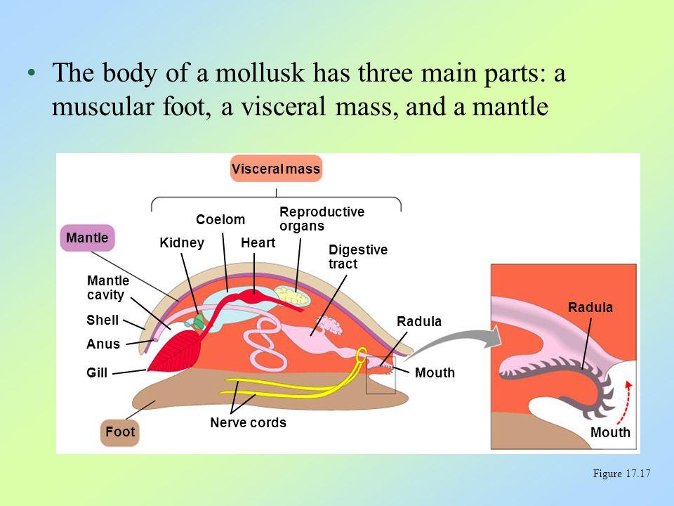The three major classes of mollusks are 1.