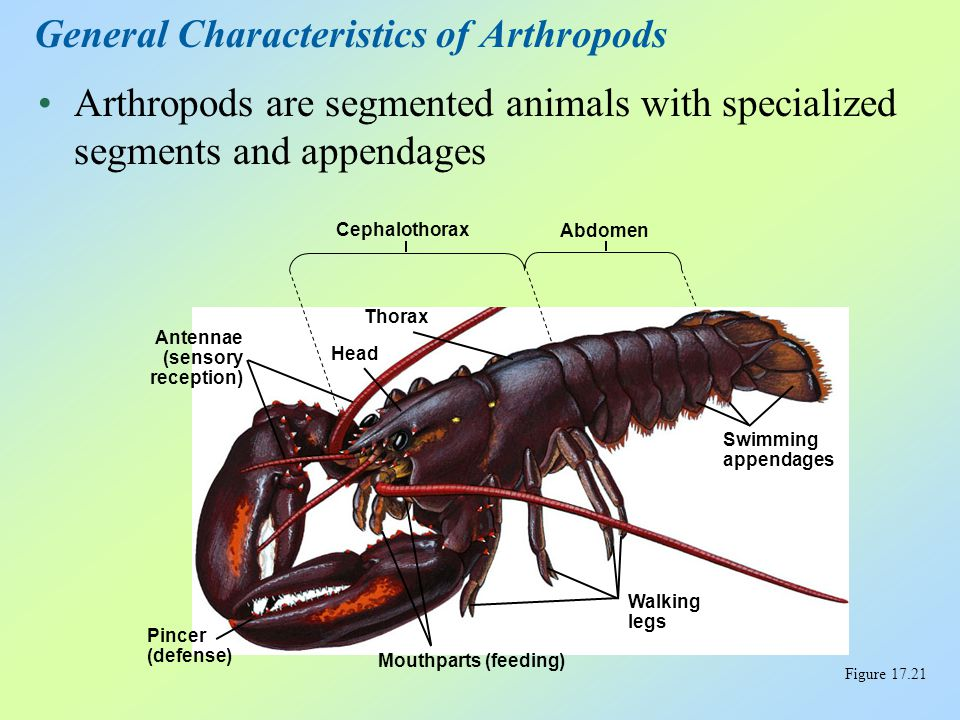 The body of an arthropod is completely covered by an exoskeleton