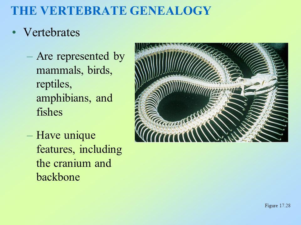 Phylum Chordata –Includes the subphylum of vertebrates Characteristics of Chordates