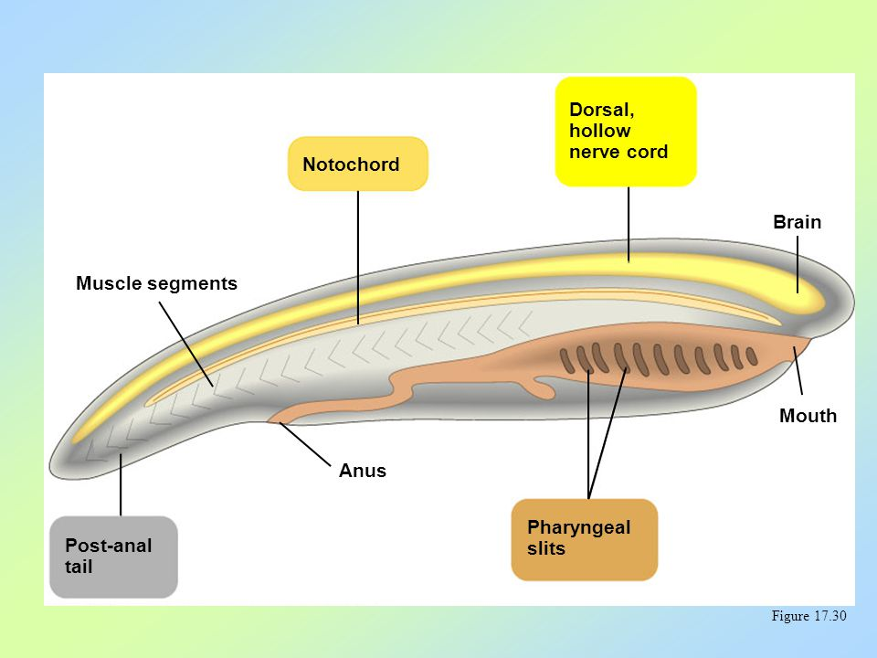 An overview of chordate and vertebrate evolution