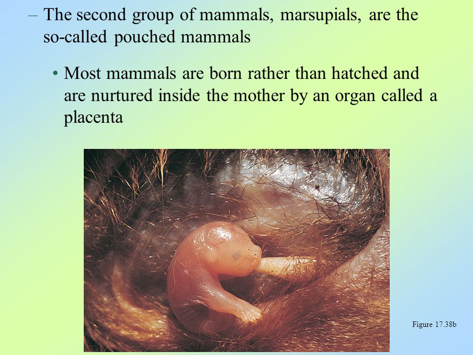 –Eutherians are also called placental mammals Their placentas provide more intimate and long- lasting association between the mother and her developing young than do marsupial placentas Figure 17.38c