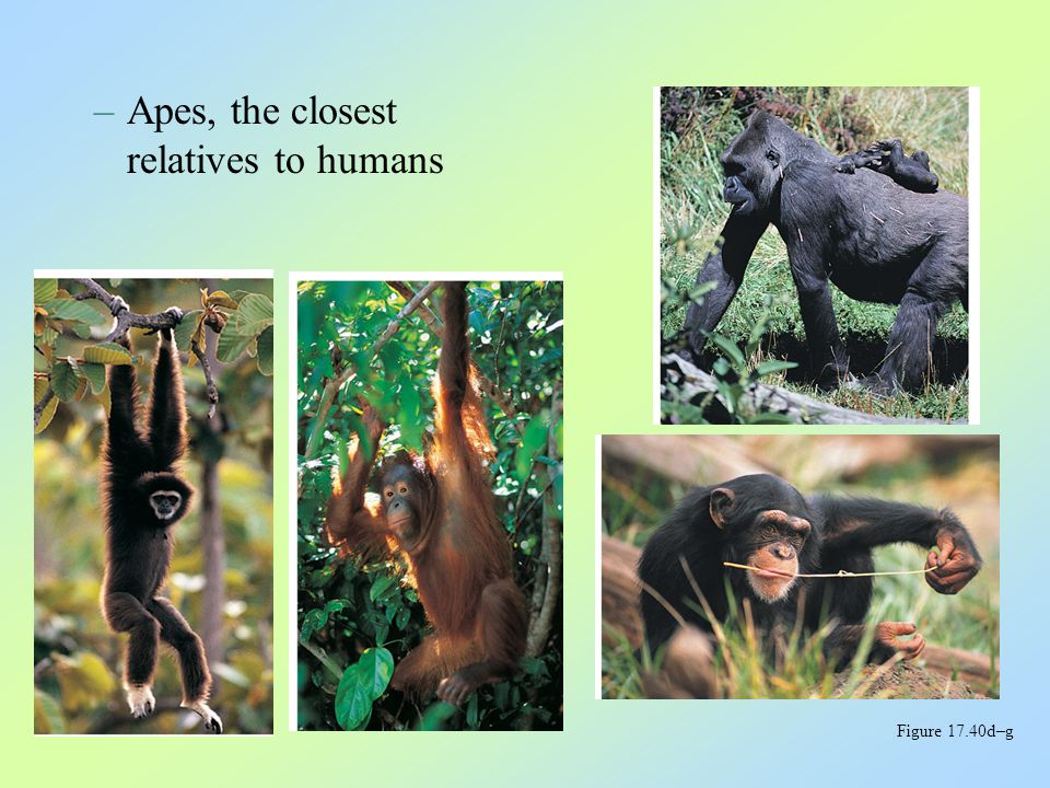 Humans and apes have shared a common ancestry for all but the last 5–7 million years The Emergence of Humankind