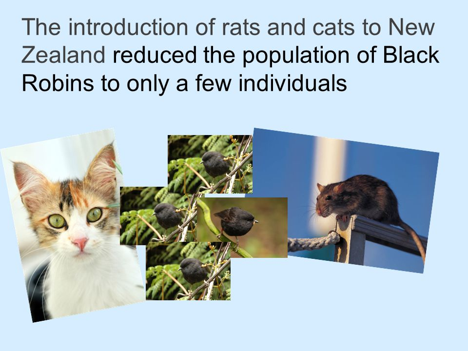 The introduction of rats and cats to New Zealand reduced the population of Black Robins to only a few individuals – this is a genetic bottleneck