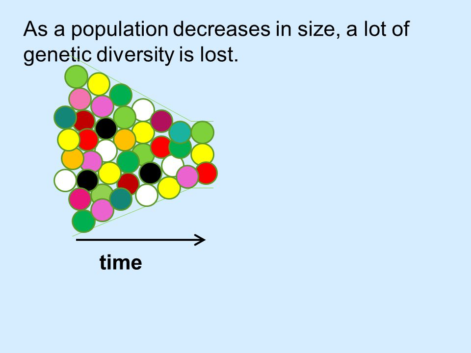 As a population decreases in size, a lot of genetic diversity is lost.