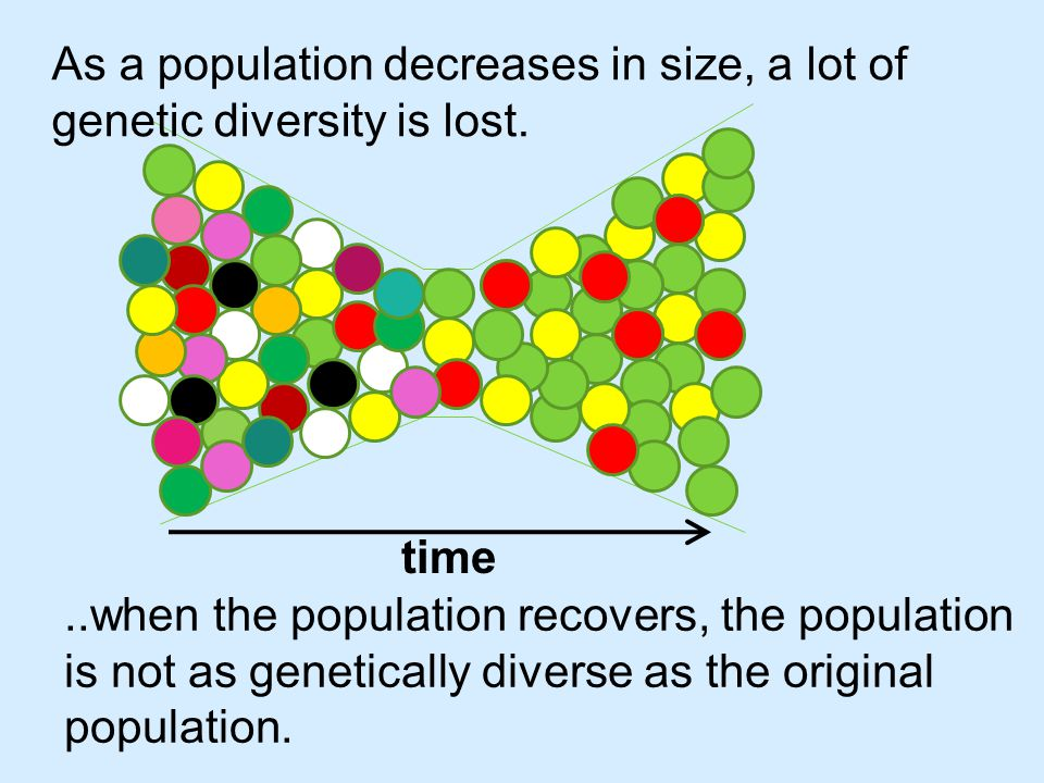 The smaller the size of the genetic bottleneck the more in-breeding occurs, and there is even less genetic diversity in the new population.