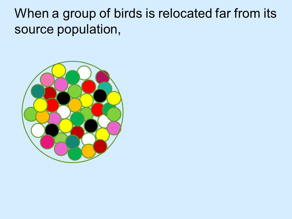 When a group of birds is relocated far from its source population, it is similar to a genetic bottleneck.