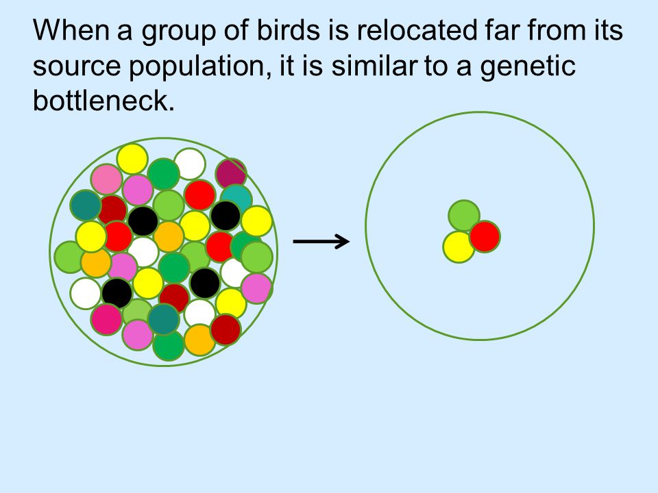 The founder population is not as genetically diverse as the source population.