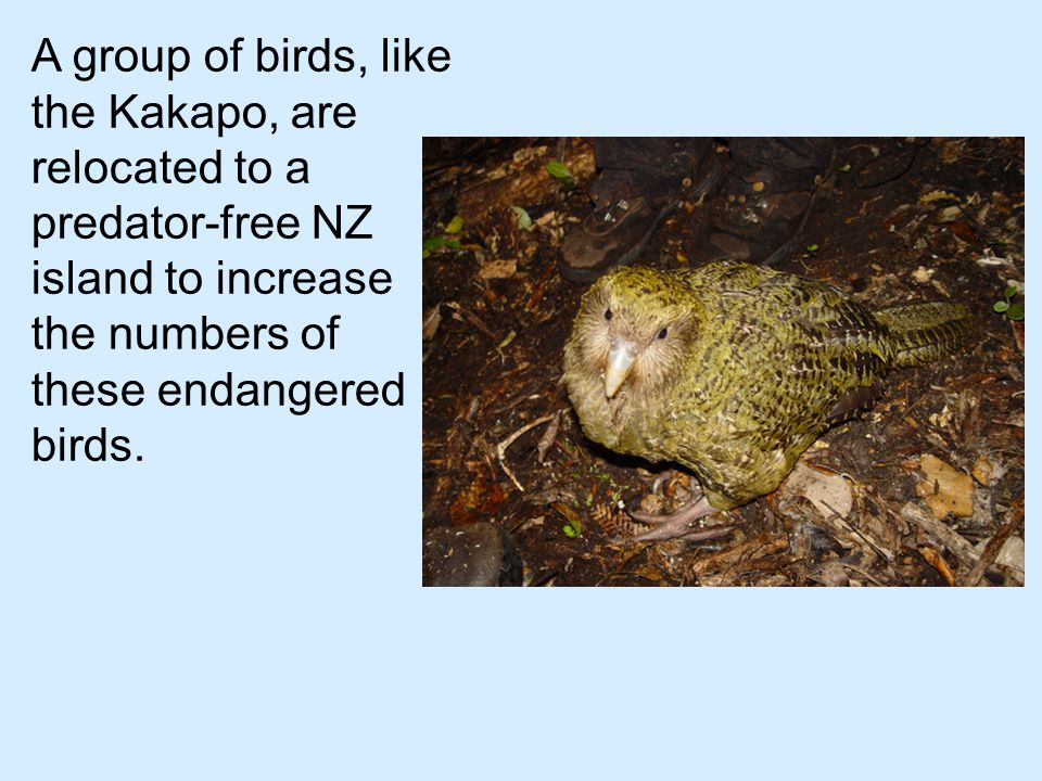 A group of birds, like the Kakapo, are relocated to a predator-free NZ island to increase the numbers of these endangered birds.