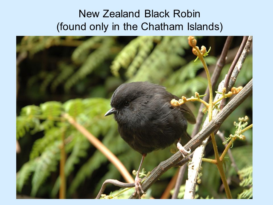 Before the 1870's there was a diverse Black Robin population.....