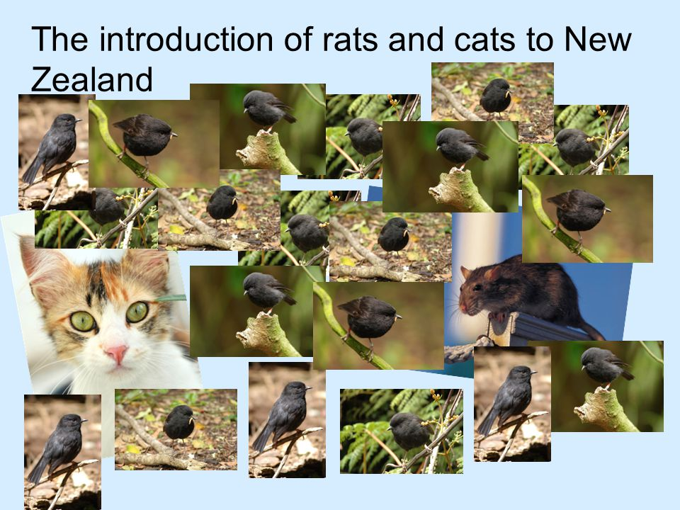 The introduction of rats and cats to New Zealand reduced the population of Black Robins to only a few individuals