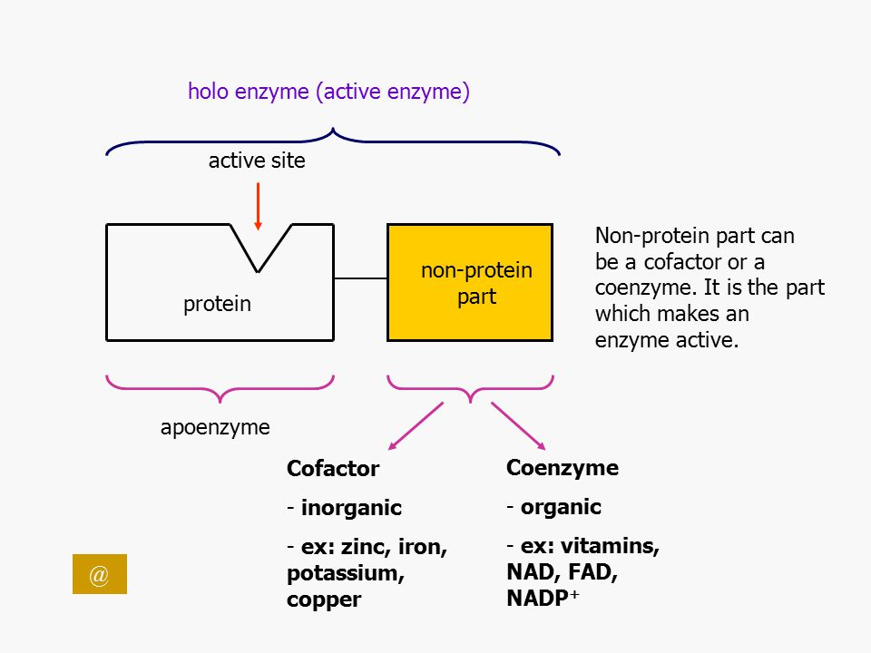 Enzymes… Are made up of proteins Simple Enzymes: only made up of proteins.