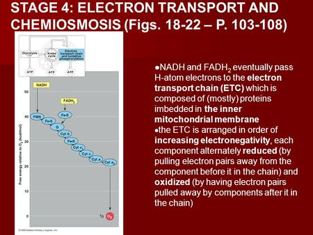 STAGE 4: ELECTRON TRANSPORT AND CHEMIOSMOSIS (Figs. 18-22 – P. 103-108) NADH and FADH 2 eventually pass H-atom electrons to the electron transport chain.