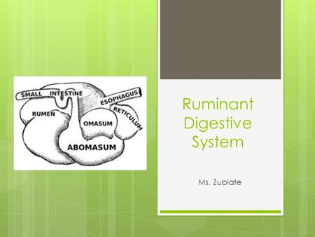 Ruminant Digestive System Ms. Zubiate. What is a ruminant animal ? Other characteristics: 1. No upper incisors (teeth) called a dental pad. 2. Chews cud.