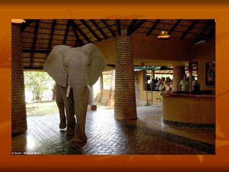 Elephants march through hotel lobby after it was built on their migration trail! The Mfuwe Lodge in Zambia happens to have been built next to a mango.